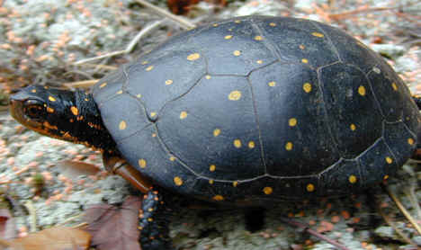 spotted turtle photograph