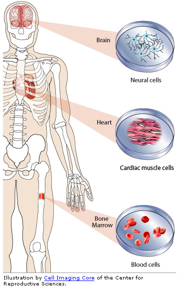 multipotent stem cell graphic