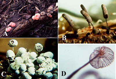 some slime mold fruiting bodies