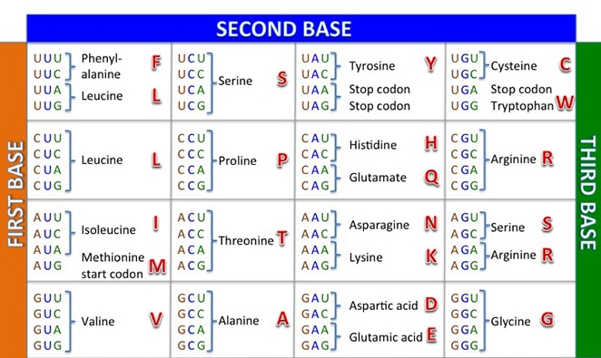 codon table by cabal edu, protein synthesis worksheet
