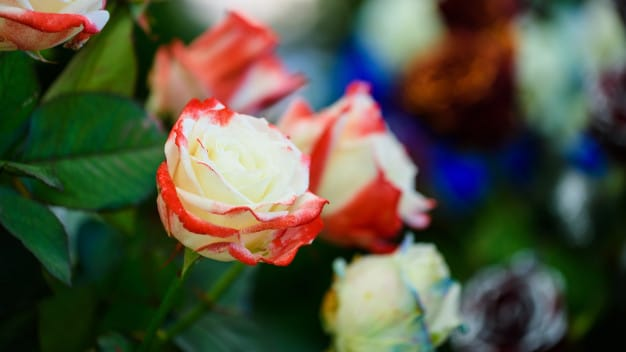 two tone roses