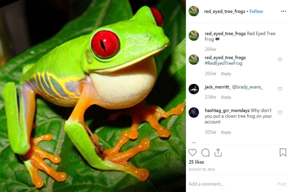 photograph of a red-eyed tree frog - a type of amphibian