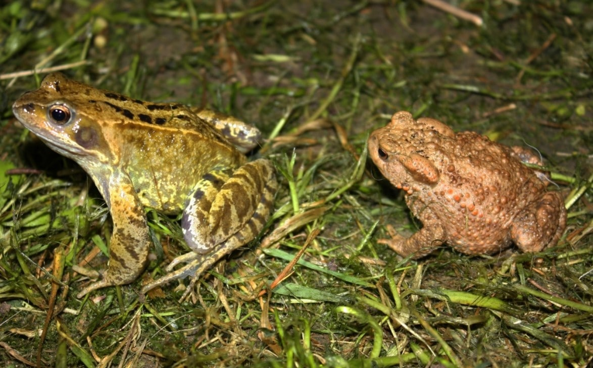 Types of amphibians: European Common Frog (Rana temporaria) & European Toad (Bufo bufo) on a grassy patch of soil
