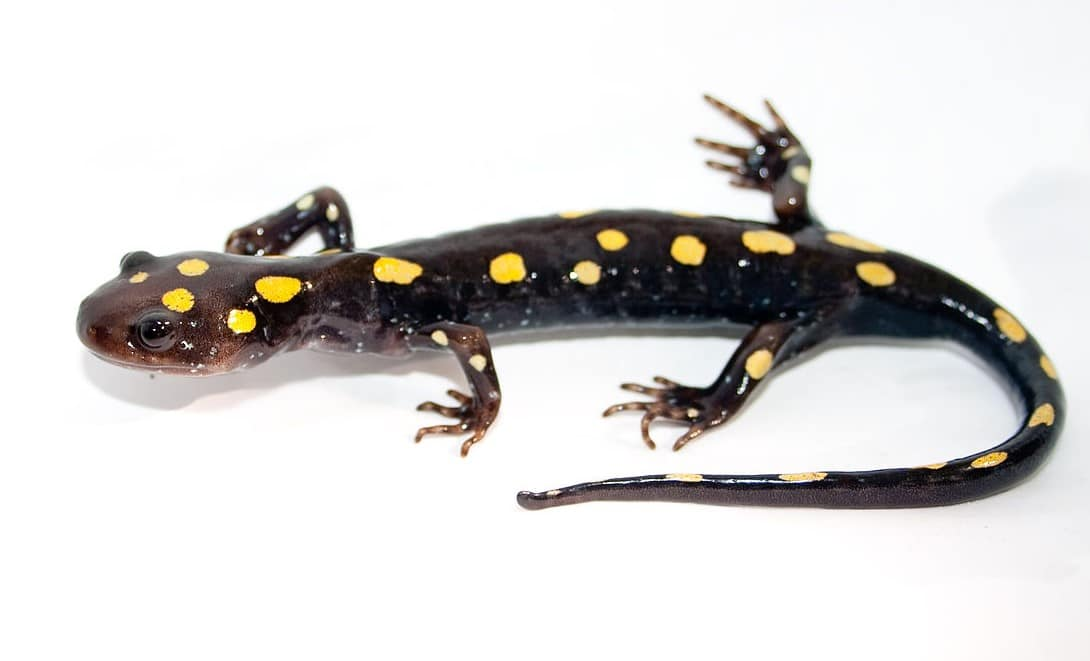 yellow-spotted salamander, an amphibian, on a white background